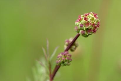 Kleiner Wiesenknopf (weibliche Blütenteile)